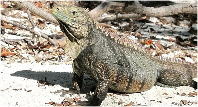 Seafari Cayo Iguana